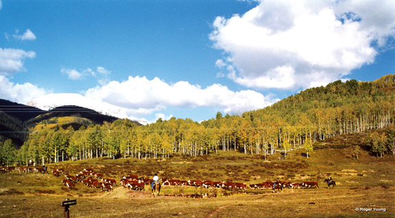 Cattle Drive on the Dallas Divide, Colorado. © Roger Young